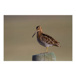 Wyoming, Sublette County, Wilson's Snipe Poster