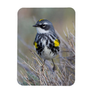 Wyoming, Sublette County, Yellow-rumped Warbler Magnet