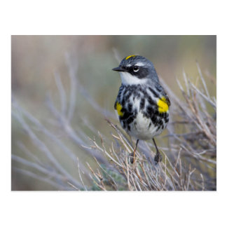 Wyoming, Sublette County, Yellow-rumped Warbler Postcard