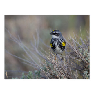 Wyoming, Sublette County, Yellow-rumped Warbler Poster