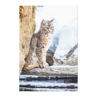 Wyoming, Yellowstone National Park, A bobcat Canvas Print