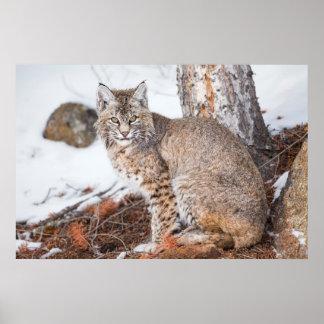 Wyoming, Yellowstone National Park, Bobcat Poster