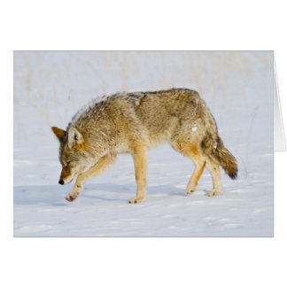 Wyoming, Yellowstone National Park, Coyote Card