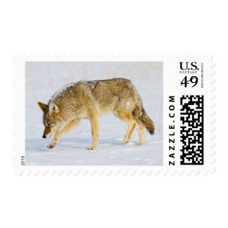 Wyoming, Yellowstone National Park, Coyote Postage