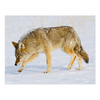 Wyoming, Yellowstone National Park, Coyote Postcard