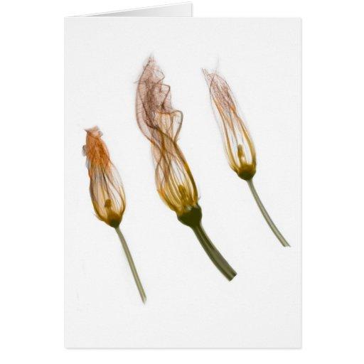 X-ray: Squash blossoms notecard