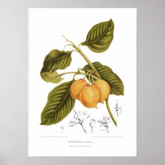 Xanthochymus Dulcis Print