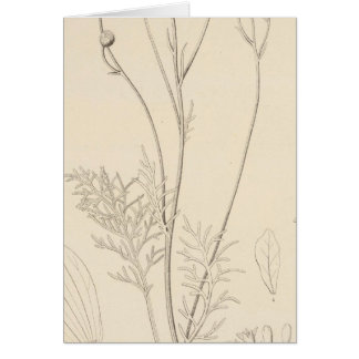 XII Leucampyx newberryi Card