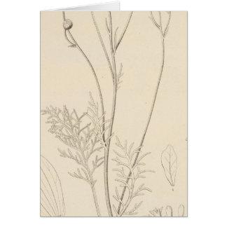 XII Leucampyx newberryi Cards