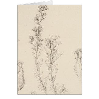XIII Artemisia rothrockii Card