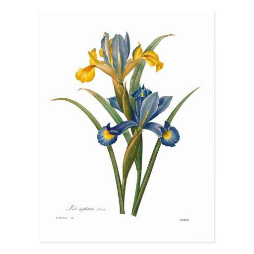 Xipheum del iris tarjetas postales