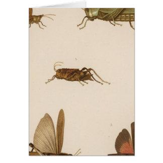 XLIII Acridium, Tomonotus, Pedioscertetes Card