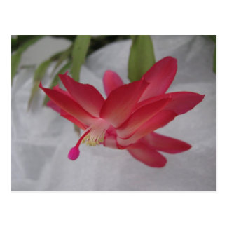 Xmas Cactus Flower Postcard