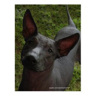 Xoloitzcuintli Postcard