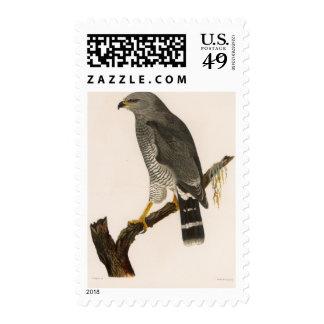 XV Asturina nitida Stamp