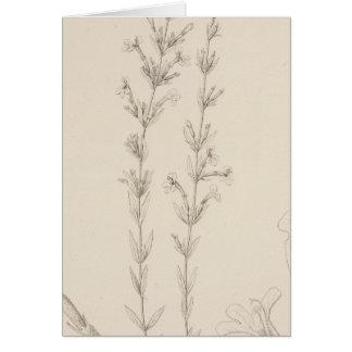 XVII Hedeoma hyssopieolia Card