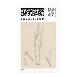 XVII Hedeoma hyssopieolia Postage