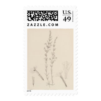 XVII Hedeoma hyssopieolia Postage Stamps