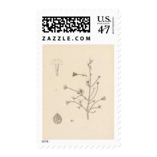 XXIII Abronia villosa Postage