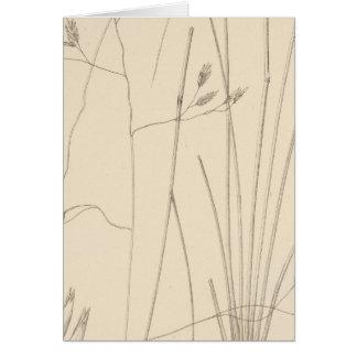 XXIX Festuca thurberi Card