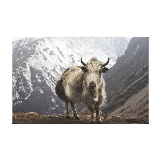 Yacs en Nepal Impresión De Lienzo