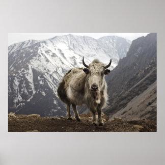 Yacs en Nepal Póster