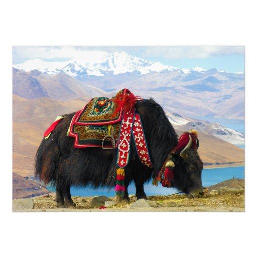 Yak Bos Grunniens near Yamdrok lake Tibet Card