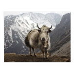 Yak in Nepal Postcard