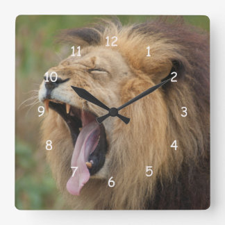 Yawning African Lion Male with Wide Yawning Fangs Square Wall Clock