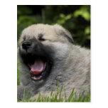 Yawning Chow Chow Postcard