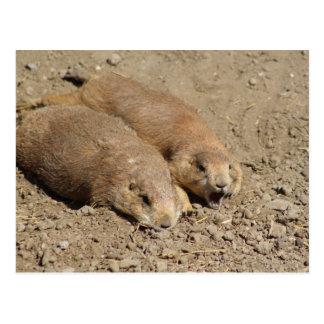 Yawning Prairie Dog Postcard
