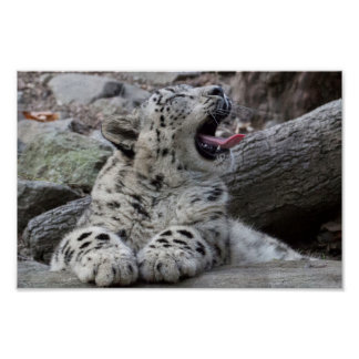 Yawning Snow Leopard Cub Poster