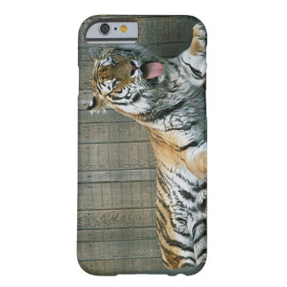 Yawning tiger in cage at zoo barely there iPhone 6 case