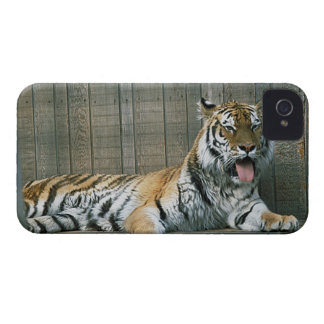 Yawning tiger in cage at zoo iPhone 4 case
