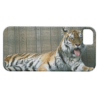 Yawning tiger in cage at zoo iPhone SE/5/5s case