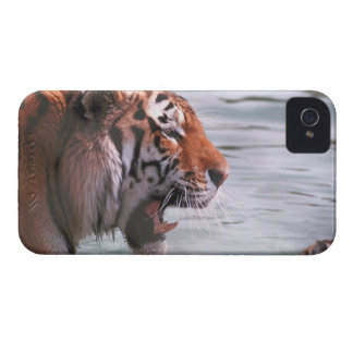 Yawning Tiger in Water Case-Mate iPhone 4 Cases