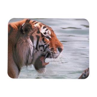 Yawning Tiger in Water Magnet