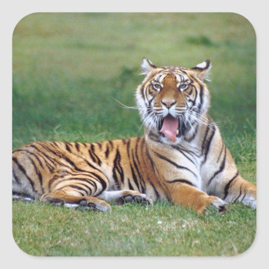 Yawning Tiger Square Sticker