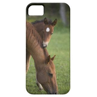 Yegua y potro cuartos americanos del caballo en ca iPhone 5 protectores