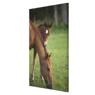Yegua y potro cuartos americanos del caballo en ca impresión en lona estirada