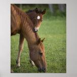 Yegua y potro cuartos americanos del caballo en ca impresiones