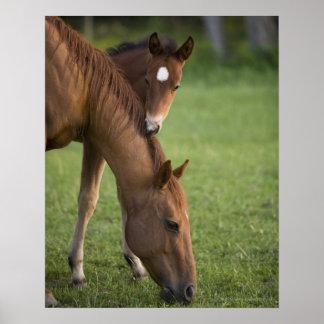 Yegua y potro cuartos americanos del caballo en ca póster