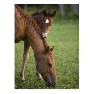 Yegua y potro cuartos americanos del caballo en tarjeta postal