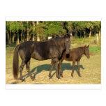 Yegua y potro del caballo de Tennessee que caminan Postal