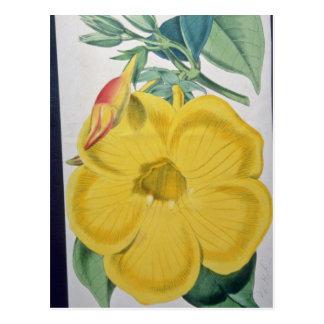 yellow Allamanda nobilis flowers Postcards