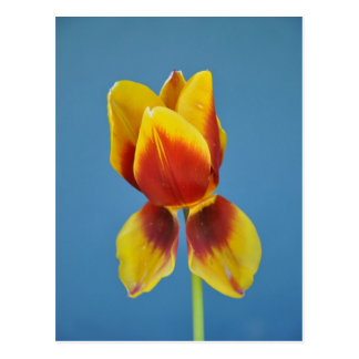 Yellow and 0range single tulip. postcard