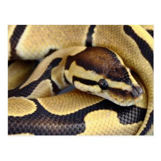 Yellow and Black Ball Python 3 Postcard