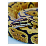 Yellow and Black Ball Python Resting Card