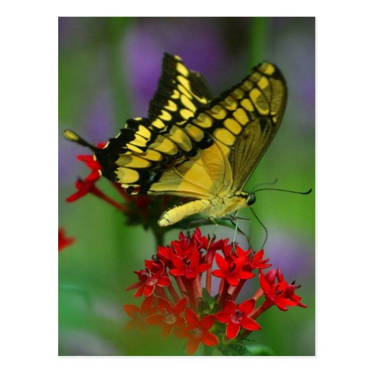 Yellow and Black Butterfly Postcard