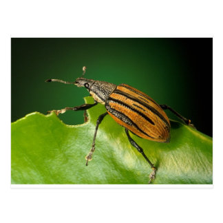 Yellow and black  striped weevils bettle postcard